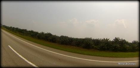 .Milläs&Orilläs. Imagen de monocultivos de Palma, en las carreteras de Malaysia.